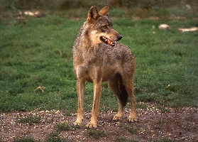 Abruzzo – National Park –  The wolf
